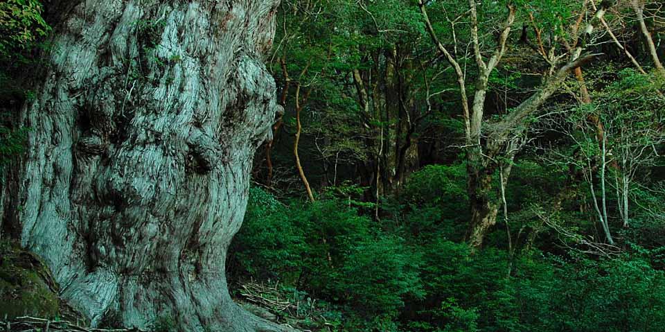 屋久島最高峰、宮之浦岳登山道に咲くヤクシマシャクナゲ